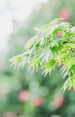 bright green maple leaves against a blurred background of green and red