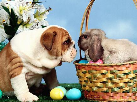 easter bulldog basket bunny.jpg