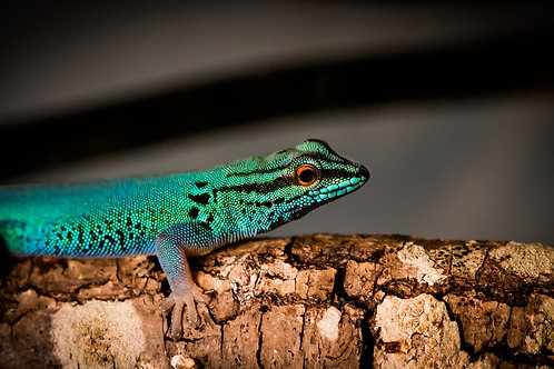 Electric Blue Day Gecko (male)