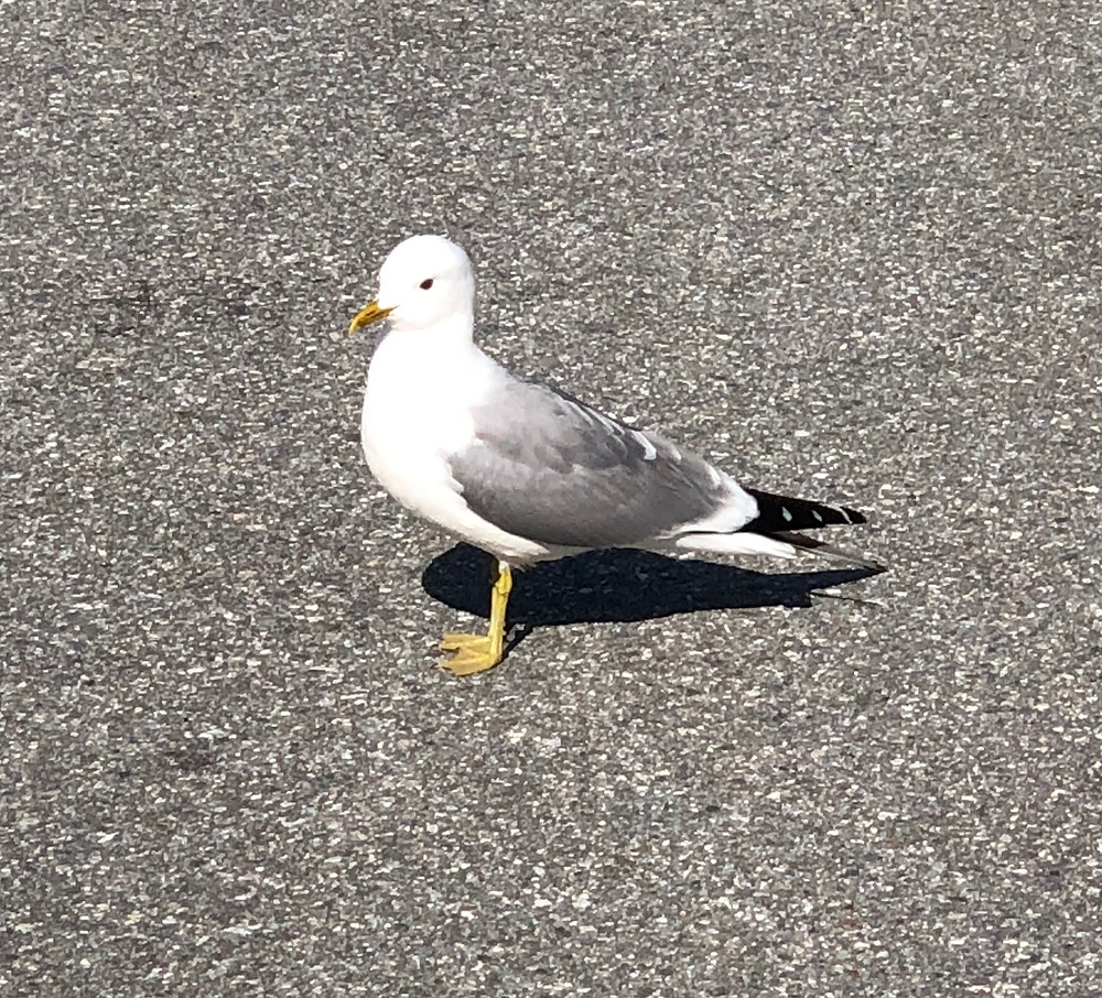 Seagull in Norway - One and Only One