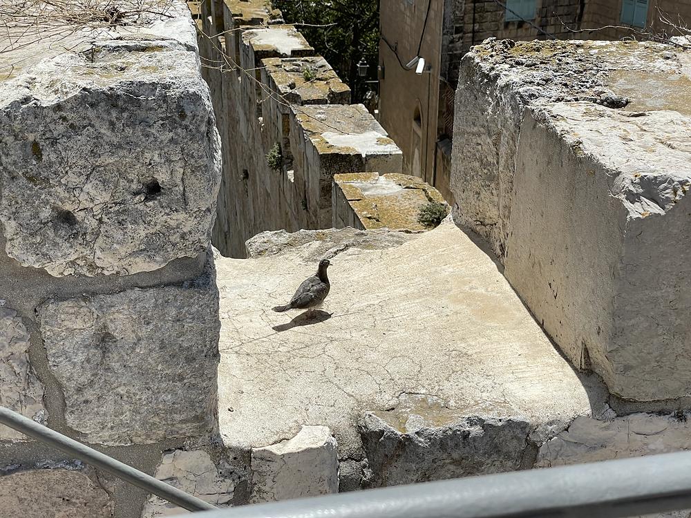יונה נחה על חומות העיר העתיקה בירושלים