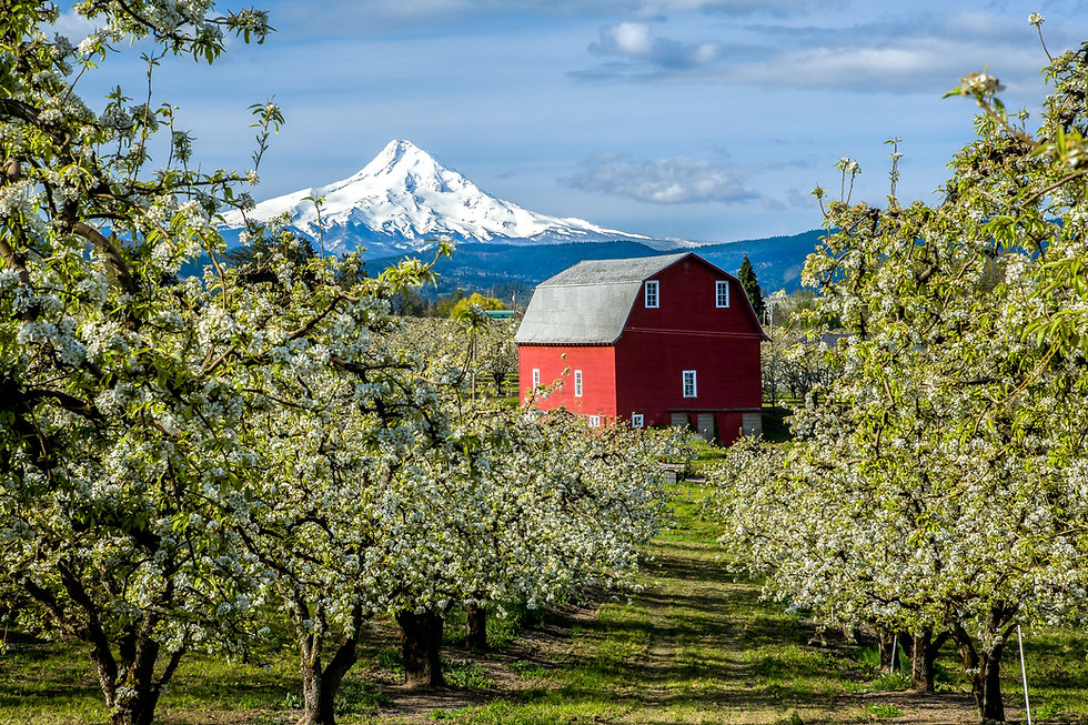 Red barn in Hood River Valley surrounded by pear blossoms with snow covered Mt Hood in the