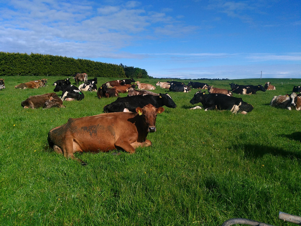 Happy healthy cows in green grass on a sunny day with blue sky