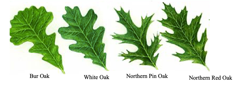 oak tree leaves and types