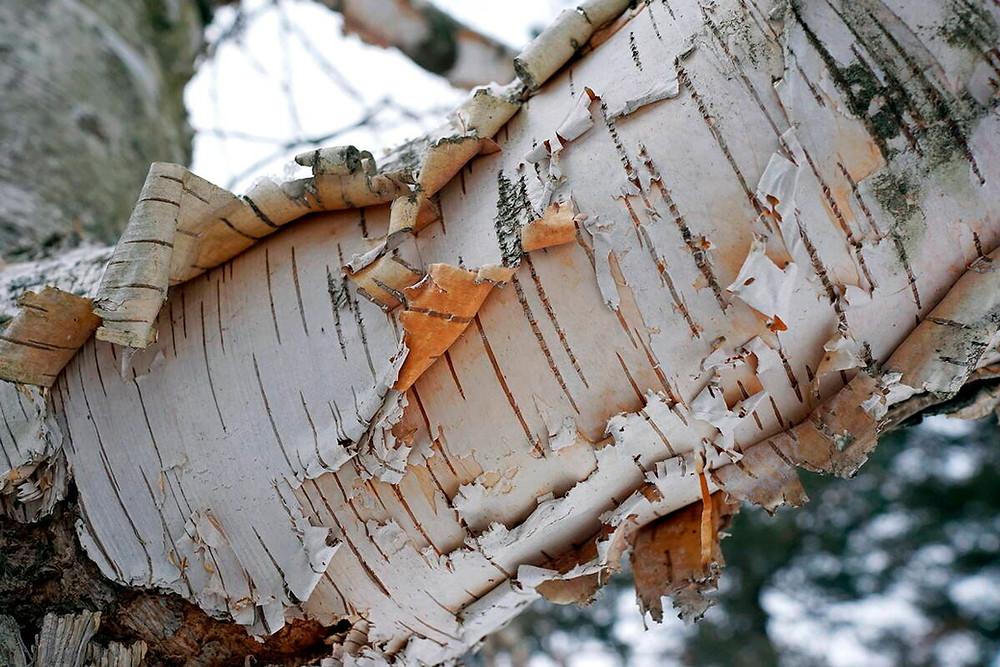 birch tree bark peeling