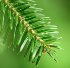 Single needle fir tree leaf