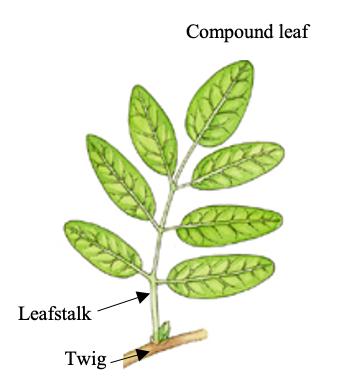 twig leafstalk petiole distinction of compound ash leaf