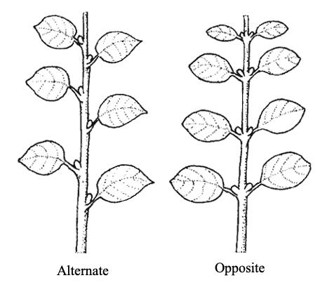 alternate vs opposite simple leaves tree