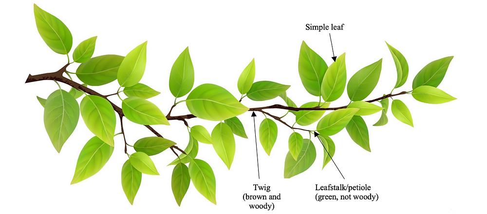 twig leafstalk petiole distinction simple leaf