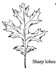 oak tree leaf sharp lobed