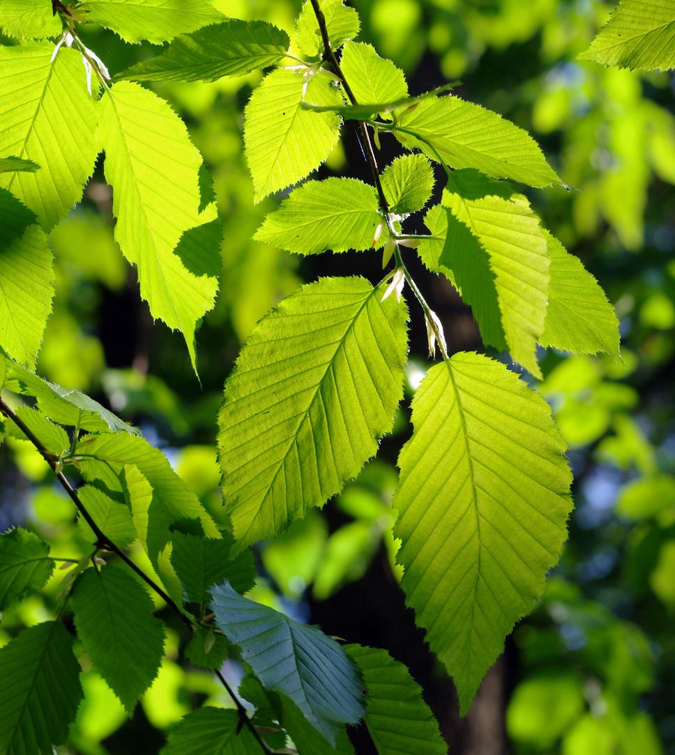 alder leaves in the wild