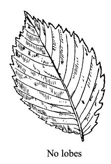 elm tree leaf no lobes toothed