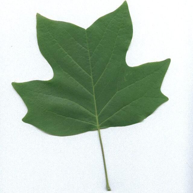 tuliptree leaf