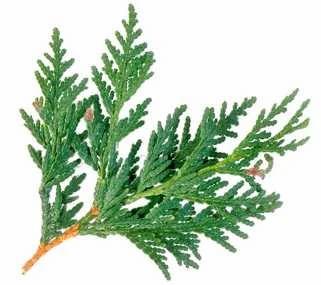 cedar tree leaf scale needles