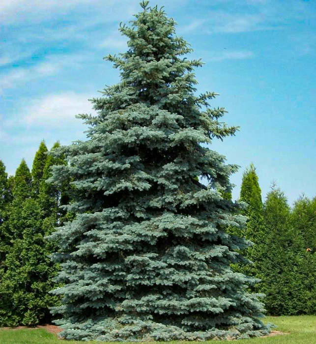 evergreen spruce christmas tree in the wild