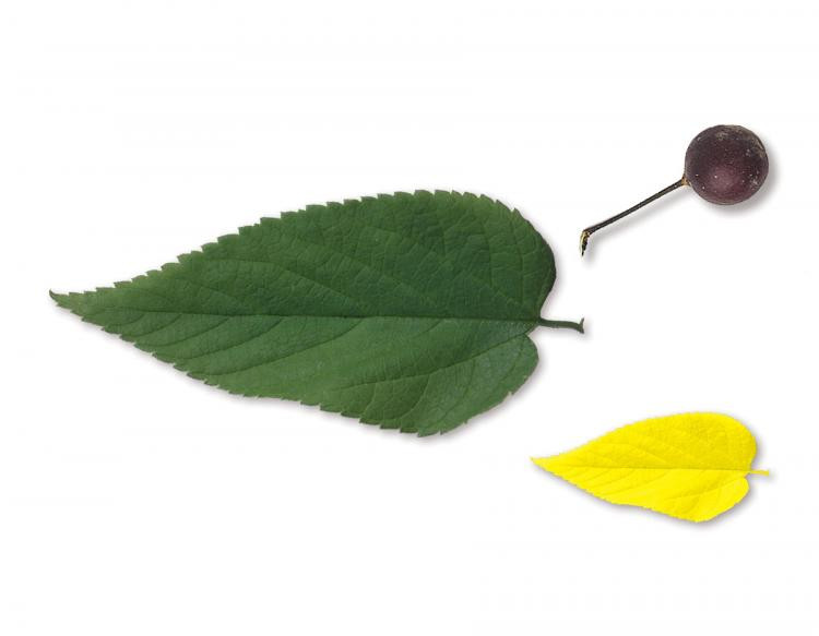 hackberry tree leaf with berry and fall colour