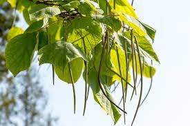 catalpa tree leaf with beans
