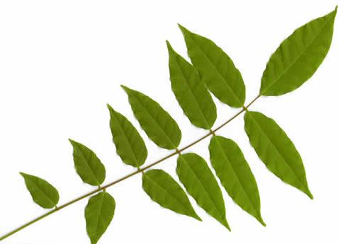 Compound Ash leaf