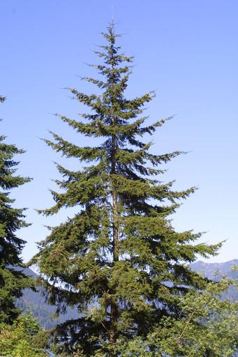 fir tree in the wild