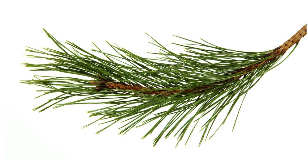 Pair needled evergreen pine tree leaf