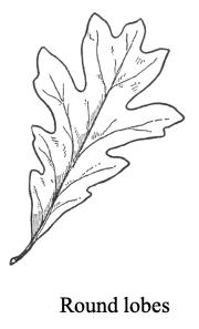 round lobed oak tree leaf