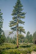 evergreen pine tree in the wild