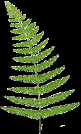 green fern for japanese weddig