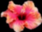 Hibiscus flowers Disneyland
