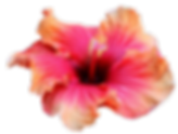Hawaiian wedding orange hibuscus flowers