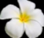 Disneyland Plumeria flowers