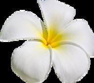plumeria aloha .png