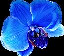 Blue orchids.png