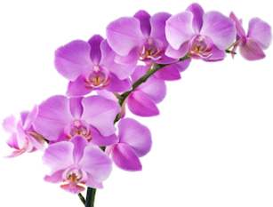 Hawaiian orchids.png