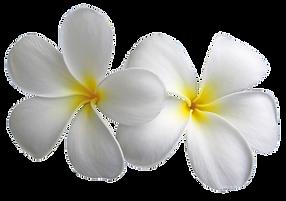 Plumeria flowers package