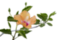 orange_hibiscus_flower_and_leaves_png_fr