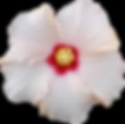 White hibiscus flowers wedding