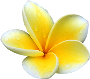 Yellow plumeria flowers in Hawaii