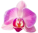 aloha-orchids.png