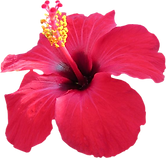 Hibiscus on red flowers