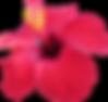 Hawaiian wedding hibuscus flowers
