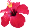 Hawaiian wedding hibuscus flowers
