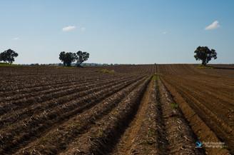 שדה תפוחי אדמה חרוש