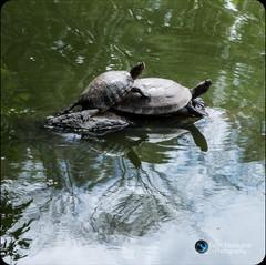 צבי מים בפוזיציה אינטימית
