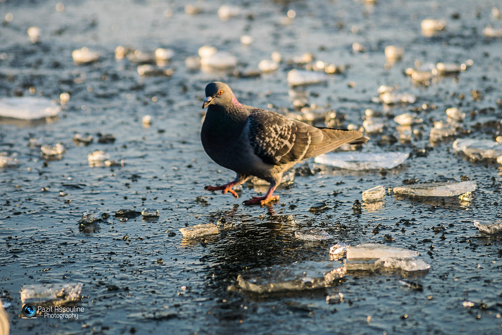 יונה מהלכת על אגם קפוא בלונדון, צילום פזית אסולין