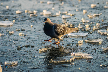 United Kingdom Winter, Pigeon
