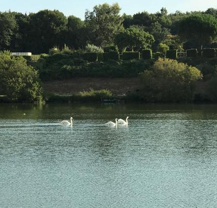 Des cygnes de passage à l'étang