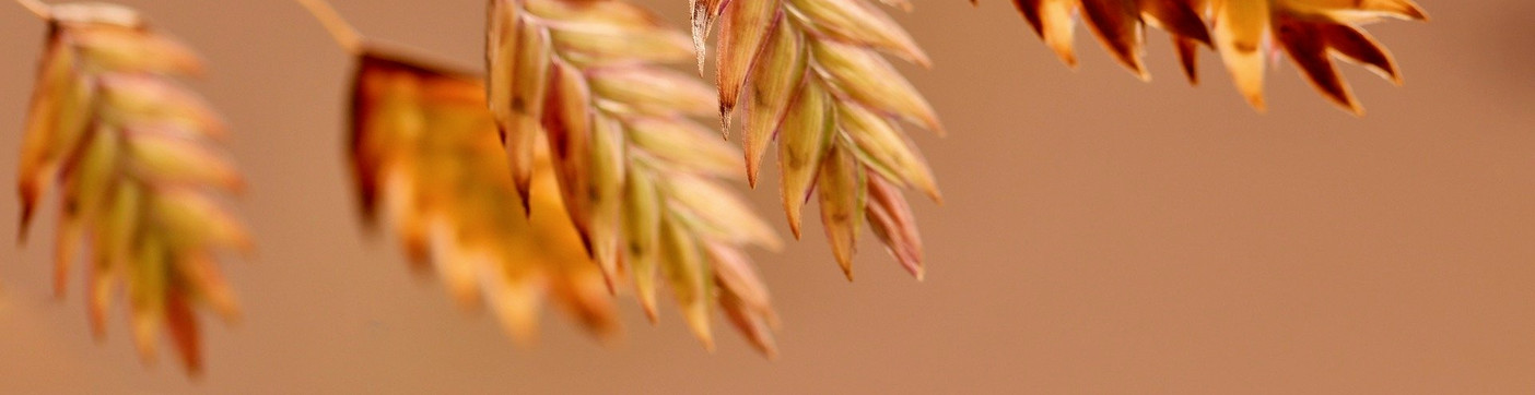 north-sea-oats-5706656_1920_edited_edited_edited.jpg