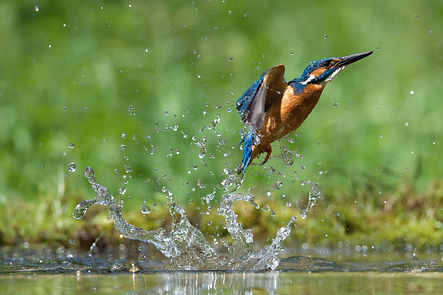bigstock-The-Diving-Common-Kingfisher--3