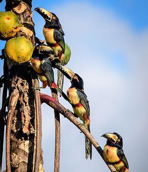 Foto aracaris en papaya silvestre.jpg