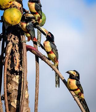 Bidwatching Punta Laguna - Yucatan Mexico - Guided tour - Birds - Nature - Culture - Wildlife Photography - Mayan Communty - Spider monkeys